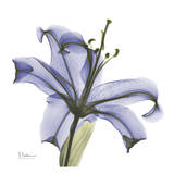 Lily in Purple Art by Albert Koetsier