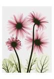 Pink Gerbera Bouquet Poster von Albert Koetsier