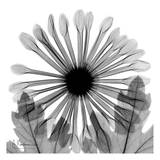 Chrysanthemum in Black and White Art by Albert Koetsier