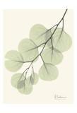 Eucalyptus Leaves in Green Plakater af Albert Koetsier
