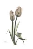 Tulip, Marjorie Print by Albert Koetsier