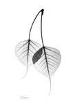 Bodhi Tree Leaves in Black and White Kunstdrucke von Albert Koetsier