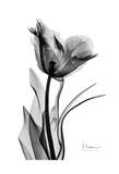 Single Tulip in Black and White Prints by Albert Koetsier