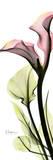 Calla Lily in Color Kunstdrucke von Albert Koetsier