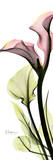 Calla Lily in Color Prints by Albert Koetsier