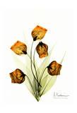 Sandersonia in Gold Posters by Albert Koetsier