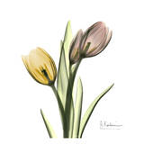 Tulip Bouquet Prints by Albert Koetsier
