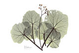 Begonia in Green Prints by Albert Koetsier