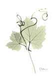 Grape Vine in Pale Green Prints by Albert Koetsier