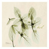 Basil in Bloom Prints by Albert Koetsier