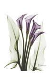 Calla Lily Quad in Color Poster von Albert Koetsier