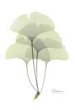Ginkgo in Pale Green Poster von Albert Koetsier