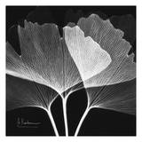 Ginkgo Close Up Black and White Art by Albert Koetsier