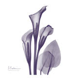 Calla Lilly Purple Prints by Albert Koetsier
