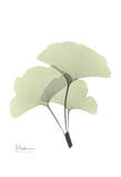 Ginkgo in Pale Green II Poster by Albert Koetsier