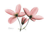 Clematis Trio in Pink Poster by Albert Koetsier