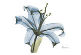 Blue Stargazer Lily Posters by Albert Koetsier