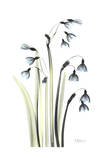 Snow Drop Galanthus in Full Bloom Affiches par Albert Koetsier