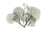 Begonia Buds Posters af Albert Koetsier