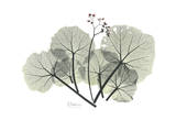 Begonia Buds Prints by Albert Koetsier