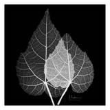 Sage Leaf Pair Black and White Posters by Albert Koetsier