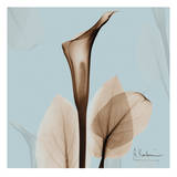 Calla Lilly Sienna on Blue Posters by Albert Koetsier