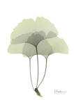 Ginkgo in Pale Green III Prints by Albert Koetsier