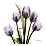 Tulip in Purple Art by Albert Koetsier