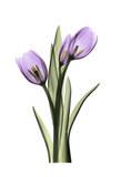 Purple Tulips II Posters par Albert Koetsier