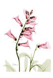 Pink Spring Foxglove Print by Albert Koetsier