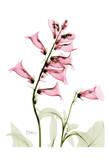Pink Spring Foxglove Prints by Albert Koetsier