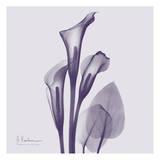 Calla Lilly Purple II Art by Albert Koetsier