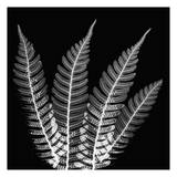 Fern Leaves Black and White Prints by Albert Koetsier