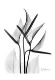 Anthurium in Black and White Posters by Albert Koetsier