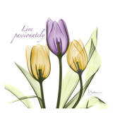 Tulips Live Passionately Prints by Albert Koetsier