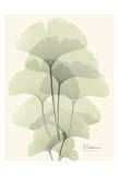 Ginkgo Leaves in Green II Posters by Albert Koetsier