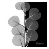 Eucalyptus on Black and White Posters af Albert Koetsier