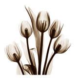 Tulip in Sienna Poster von Albert Koetsier