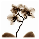 Orchid Plakat af Albert Koetsier