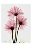 Pink Gerbera Triple Prints by Albert Koetsier