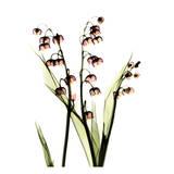 Albert Koetsier - Müge Çiçeği - Tablo