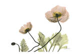 Amanda's Iceland Poppies Prints by Albert Koetsier