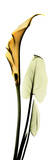 Calla Lily in Gold II Print by Albert Koetsier