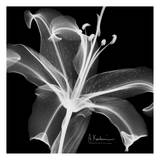 Lily White on Black Print by Albert Koetsier