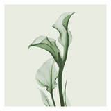 Calla Lilly in Green Prints by Albert Koetsier