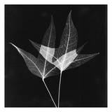 Double Leaves Black and White Poster by Albert Koetsier