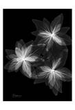 Bloom Explosion on Black Prints by Albert Koetsier