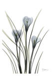 Crocus in Black and White Prints by Albert Koetsier