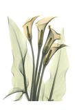 Calla Lily Bunch in Color Posters by Albert Koetsier