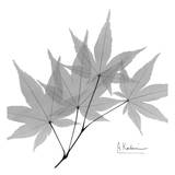 Japanese Maple in Black and White ポスター : アルバート・クーツィール